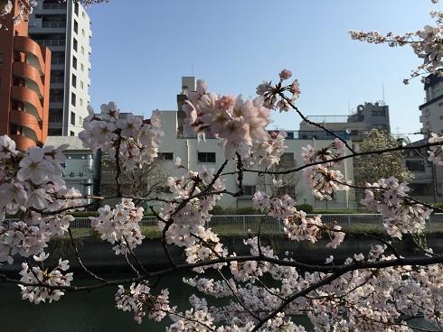 門前仲町の桜3