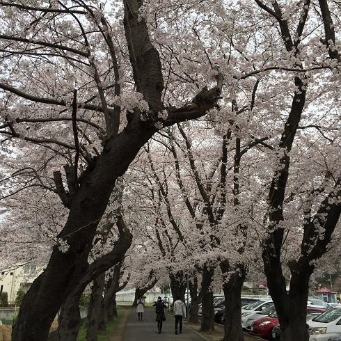 こどもの国の桜2015