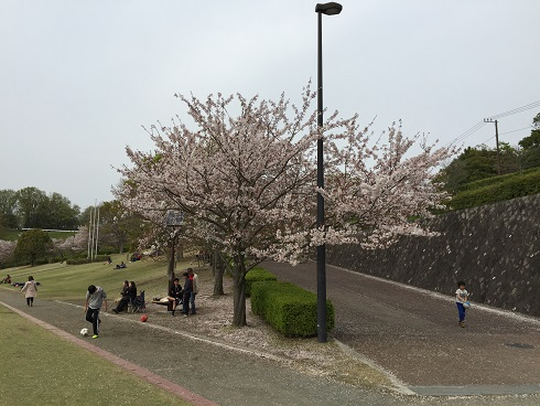 中井中央公園の桜