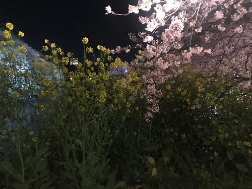 菜の花との共演