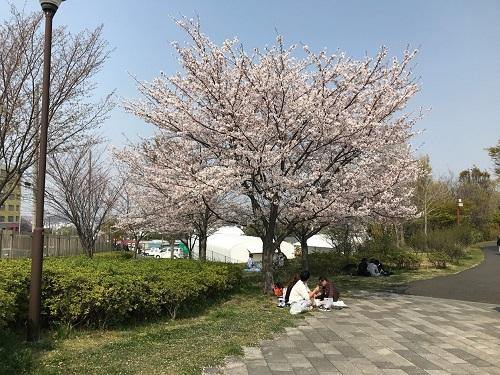 ほかにも何本か桜の木が