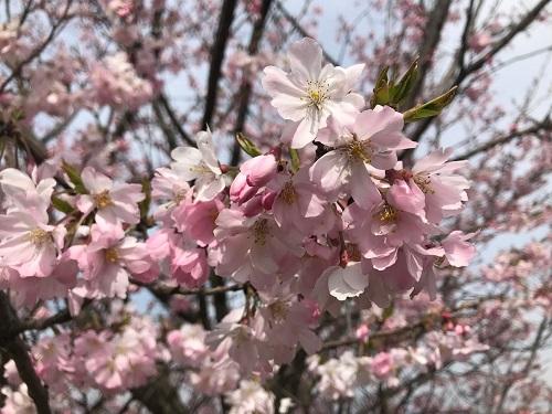 思川桜を接写