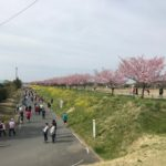 川沿いの思川桜