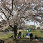 見事に満開の桜
